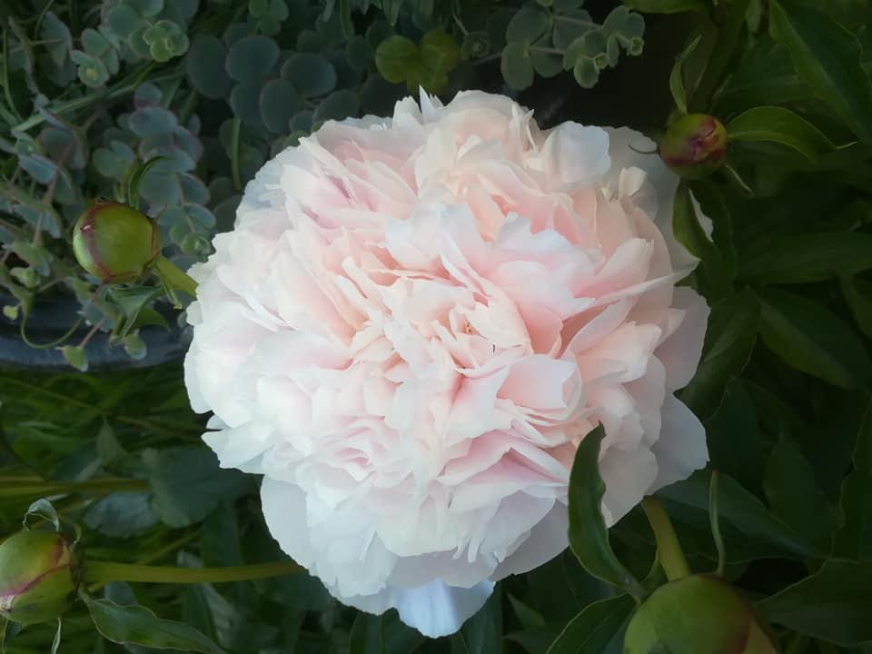 cvetlicarna zvoncek sentvid pri sticni2